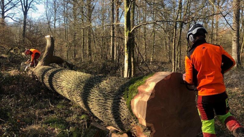 Cet imposant chêne de la forêt de Mormal servira prochainement pour monter les pièces qui serviront à la future charpente et la future flèche de la cathédrale Notre-Dame de Paris.