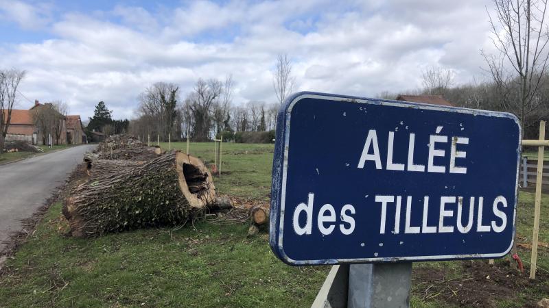 L'allée des Tilleuls voit se côtoyer pour l'instant les énormes troncs creux des ancêtres et les troncs tout fins des jeunes pousses.