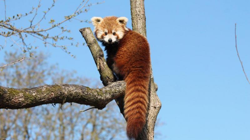 Mei doit maintenant faire la rencontre des loutres qui partagent son territoire au sein du zoo amiénois.