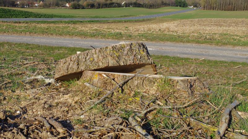 Une partie des peupliers qui longent le chemin d'accès au site a été abattue ces dernières semaine.