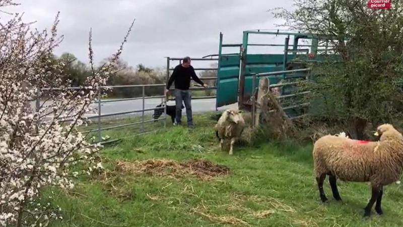 Les moutons quittent leur bergerie en baie de Somme.