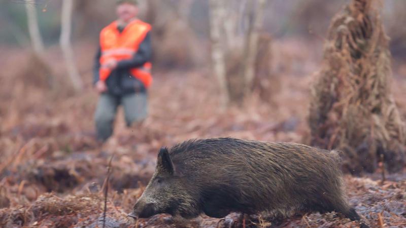 La densité de sangliers dans les forêts de Vauxaillon a toujours fait l'objet d'une attention particulière.