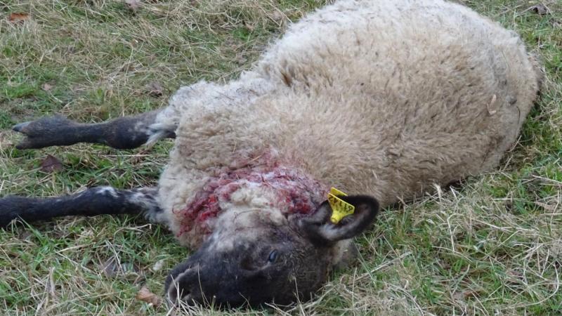 Un troupeau d'ovins a été attaqué la semaine dernière, au nord de Noyon.