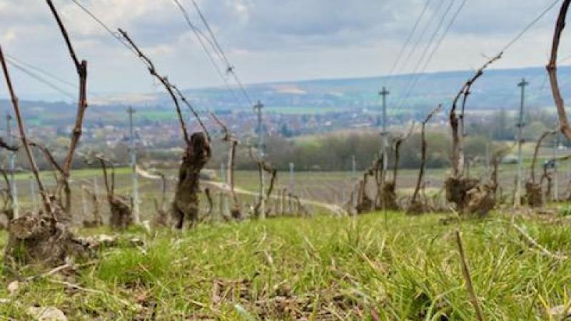 Vignes touchées par le gel à Trélou-sur-Marne, dans le sud de l'Aisne.
