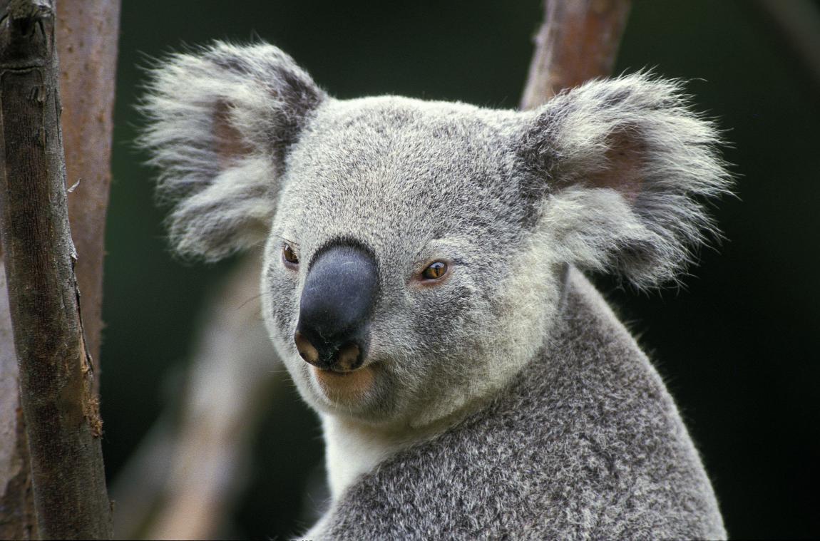 Les koalas se sont éteints dans 41 zones — Australie
