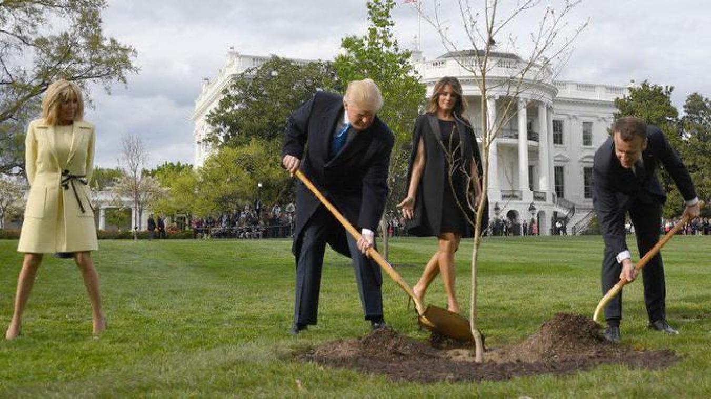Le chêne planté par Macron et Trump à Washington n'est plus