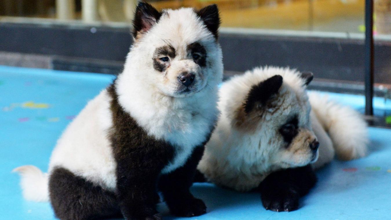 En Chine Un Cafe A Animaux Teint Des Chiens Pour Leur Donner L Air De Pandas