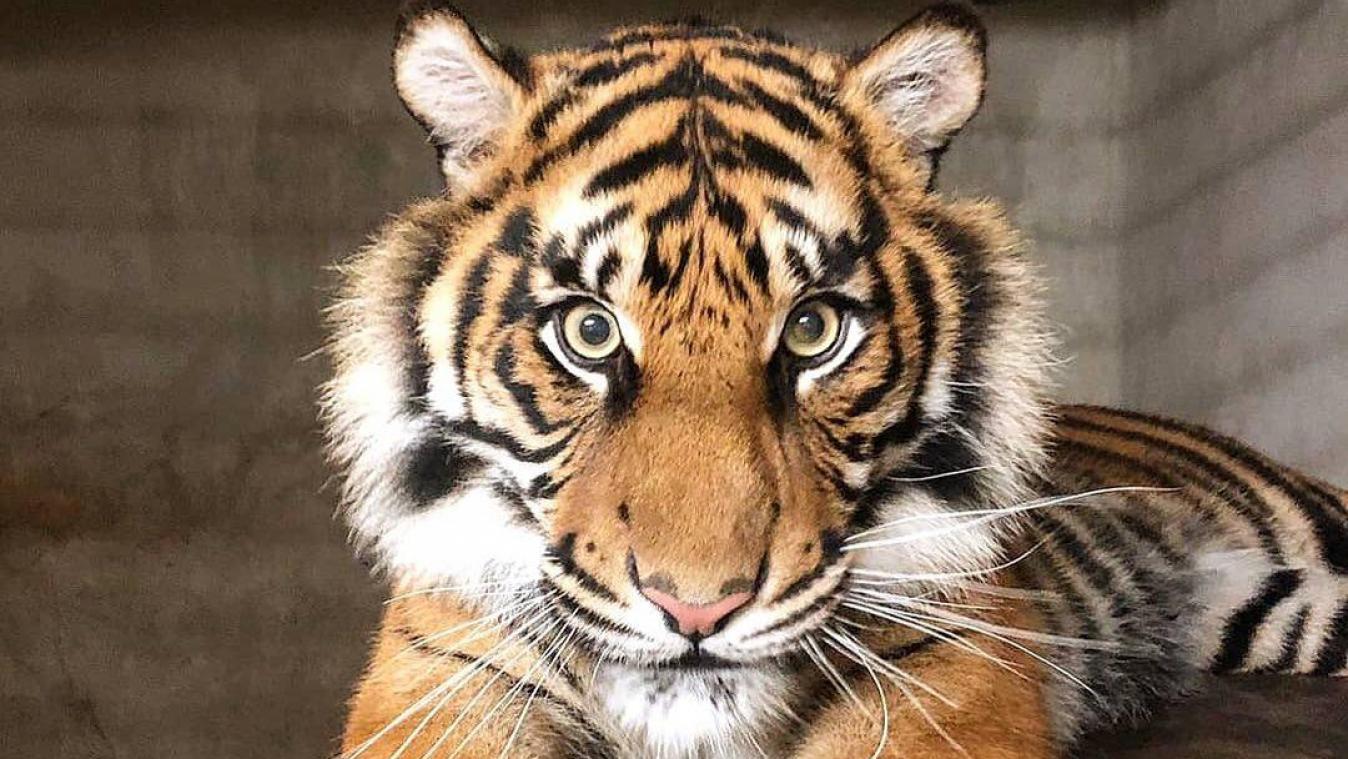 Le Premier Tigre Est Arrive Au Zoo D Amiens Le Second Debarque Ce Jeudi Video