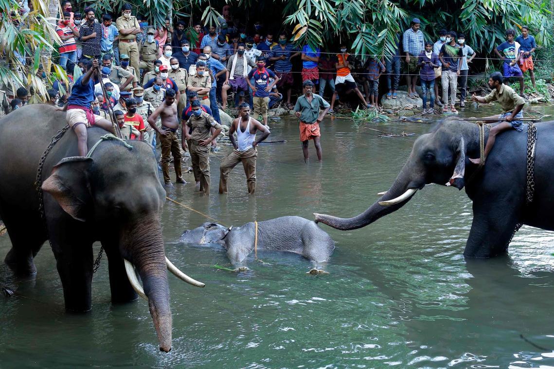 Une éléphante tuée après avoir mangé un fruit rempli de pétards — Inde