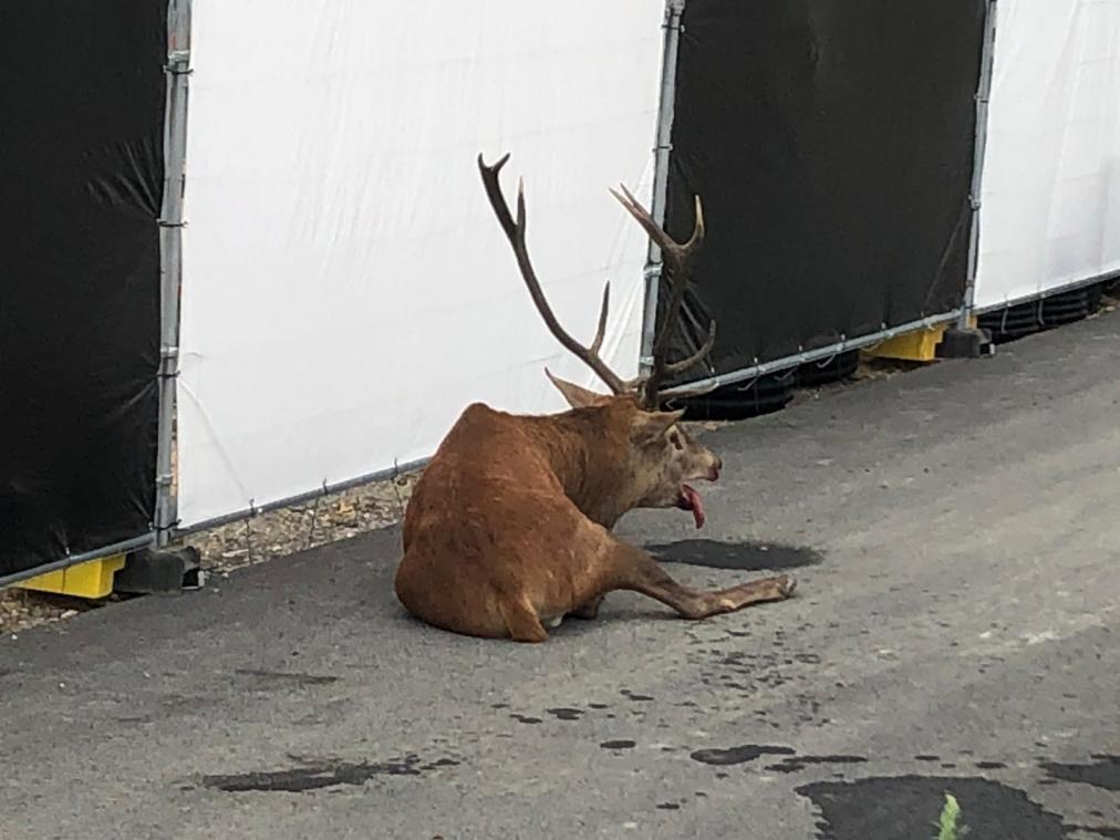 Chasse à courre : un cerf se réfugie dans un chantier à Compiègne, les anti-chasse s'indignent
