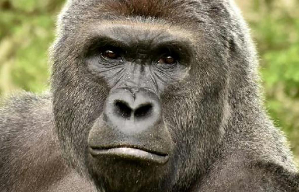 Un gorille attaque une gardienne dans un zoo de Madrid — Espagne