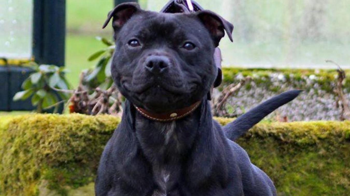 Curtis a été importé illégalement en France, avec des documents falsifiés. Son maître le dressait au mordant, ce qui était interdit pour cet American Pitbull Terrier.