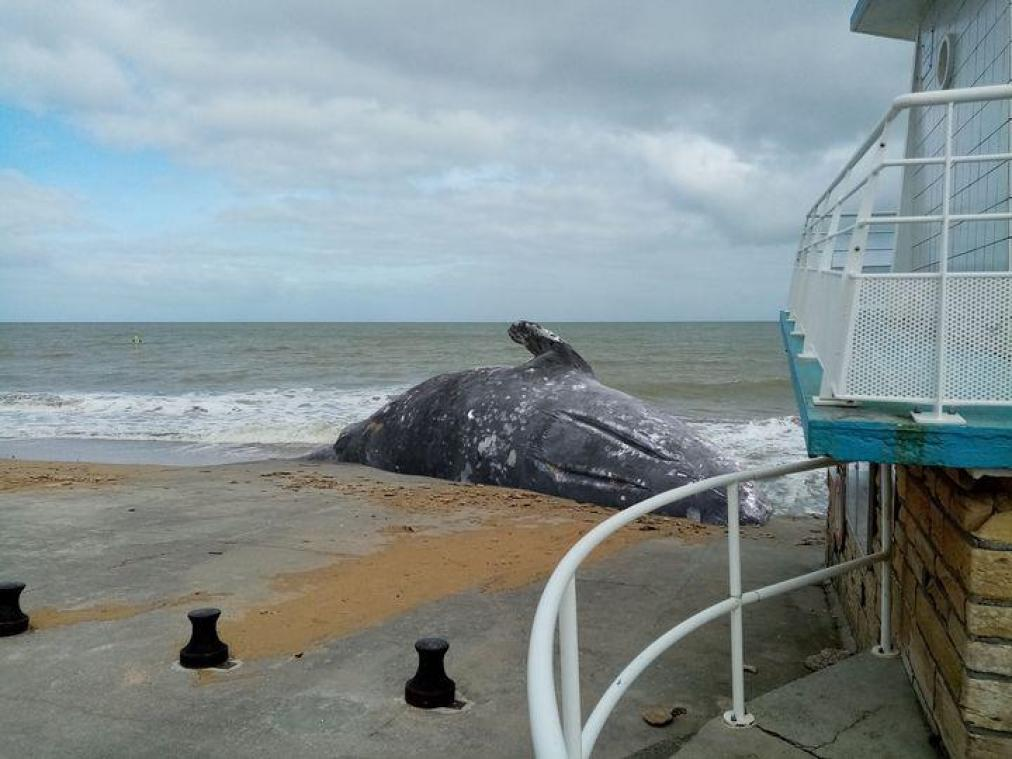 Une baleine grise sur les plages du Calvados ?