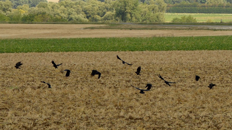 A chaque printemps, les corbeaux viennent manger les graines semées par les agriculteurs.