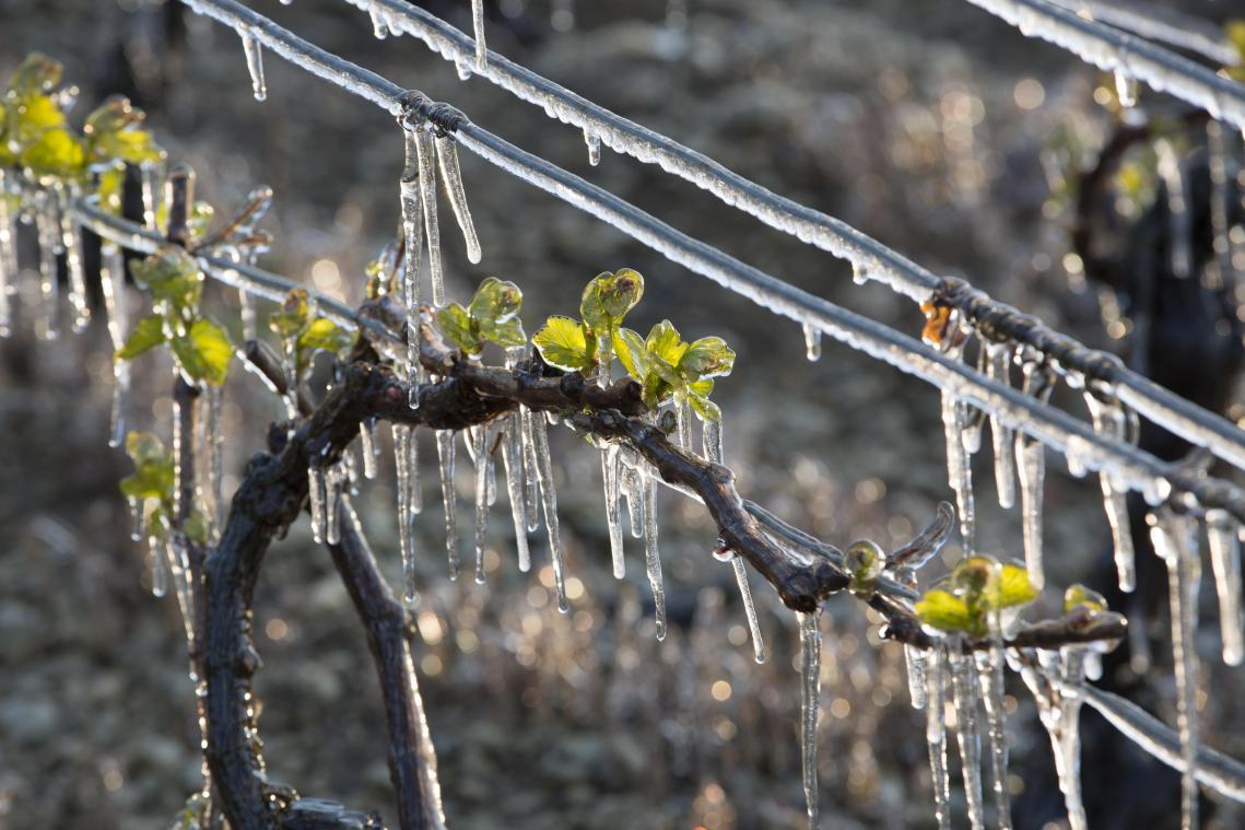 Selon Philippe Abadie, « les pertes vont être importantes » mais le fait que le gel soit intervenu début avril va laisser « un peu plus de chance au végétal de repartir »