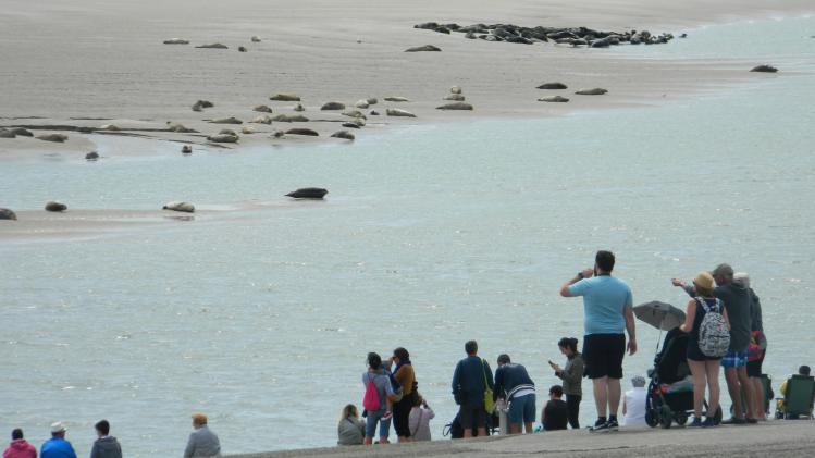 Le spectacle des phoques prélassés sur le sable fascine toujours les touristes.